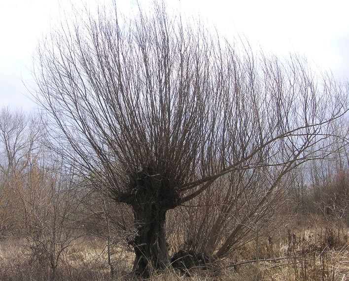 A coppiced willow