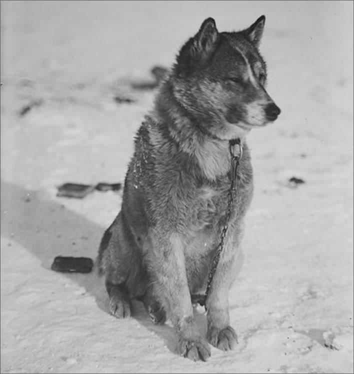 Terra Nova expedition: Krisravitza, the sledge dog who led Evans' rescue team.