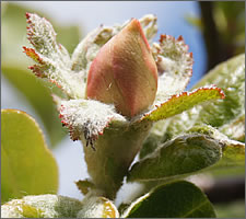 Quince blossom in May.